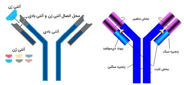 ساختار آنتیبادی